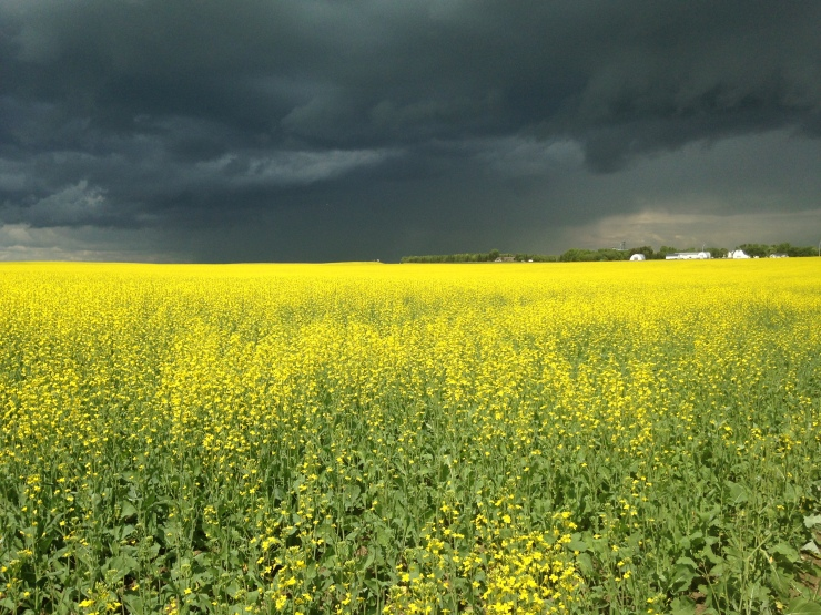 Canola fields, July