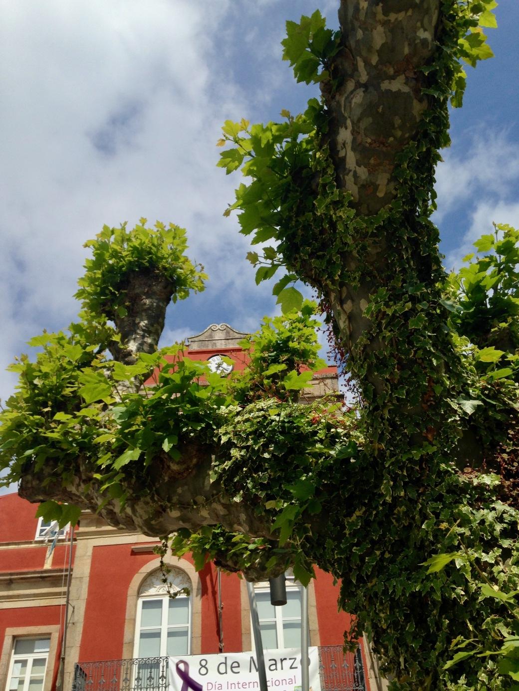 plane trees