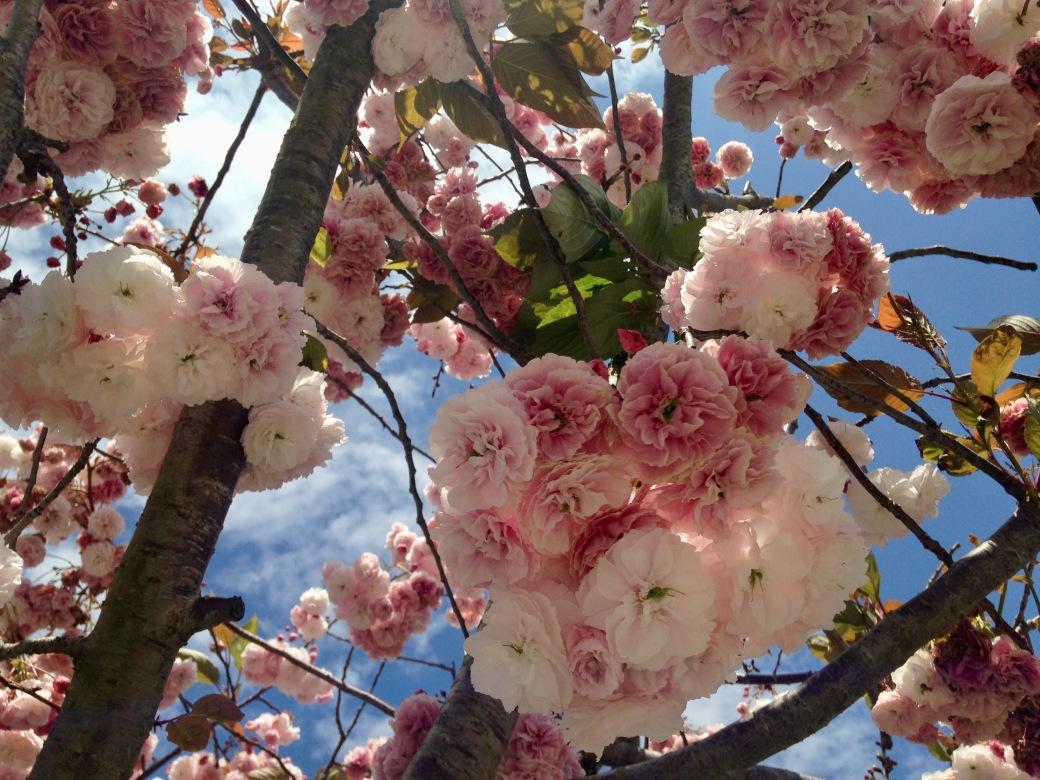 Bueu blossoms